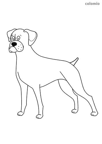 Dibujo de Bóxer para colorear