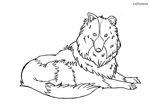 Long-Haired Collie coloring page