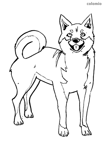 Dibujo de Shiba para colorear