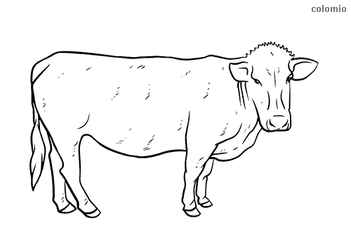 Domestic cattle coloring page