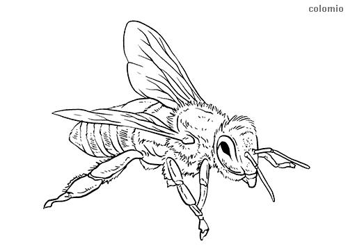 Honeybee coloring page