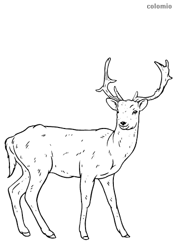 Fallow deer coloring sheet