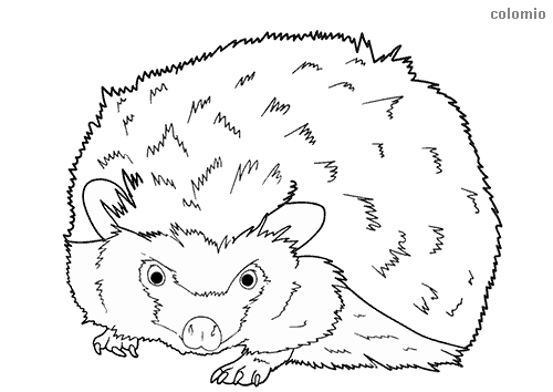Curious hedgehog coloring page