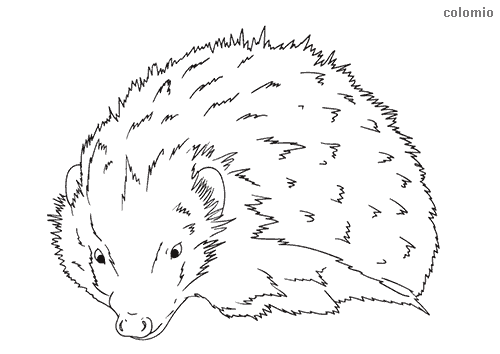 Realistic hedgehog coloring page