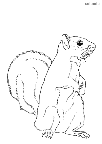 Curious squirrel coloring page