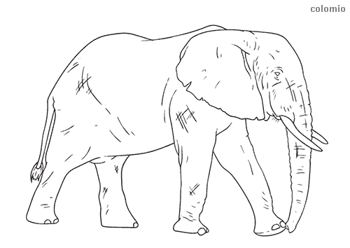 Realistic elefant coloring sheet