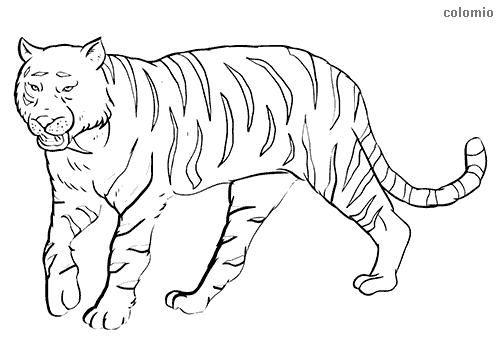 Sibirian tiger coloring page