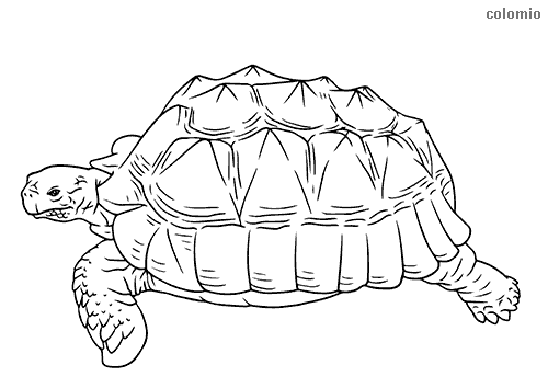 Sea turtle coloring page