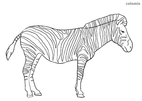 Zebras Coloring Pages » Free & Printable » Zebra Coloring Sheets