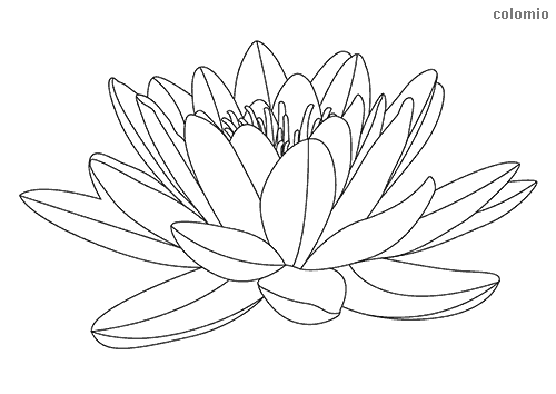 Opened water lily coloring sheet