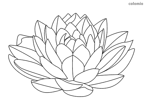 Water lily coloring page