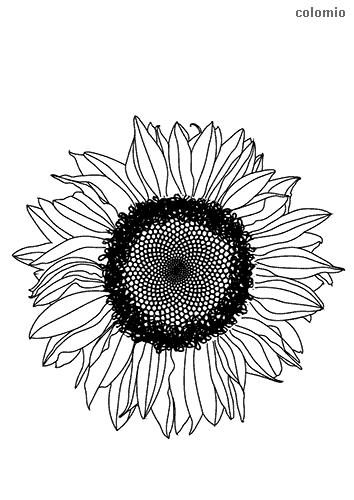 Head of sunflower coloring sheet