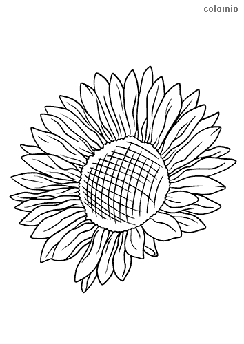Sunflower head coloring page