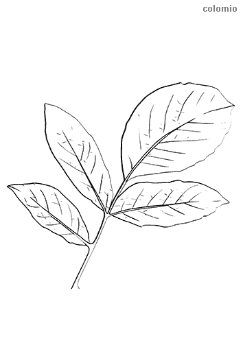 Dibujo de Rama con cuatro hojas para colorear