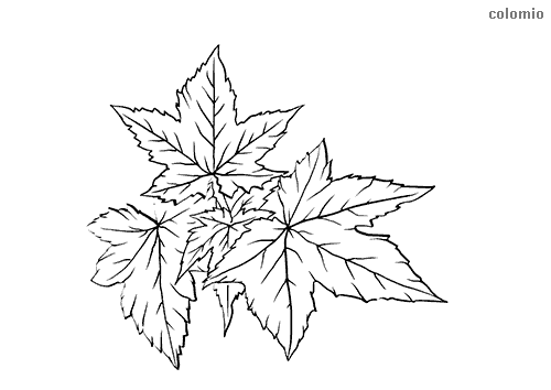 Silver maple leaf coloring page